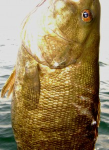 After the musky attacked it, you can see the teeth marks on this smallmouth.